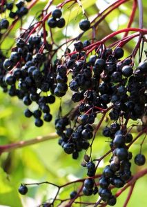 black-elderberry